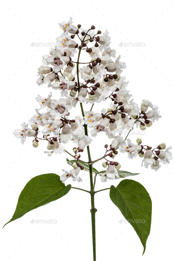 Flowering tree of Catalpa, lat. Catalpa speciosa, isolated on wh - Stock Photo - Images