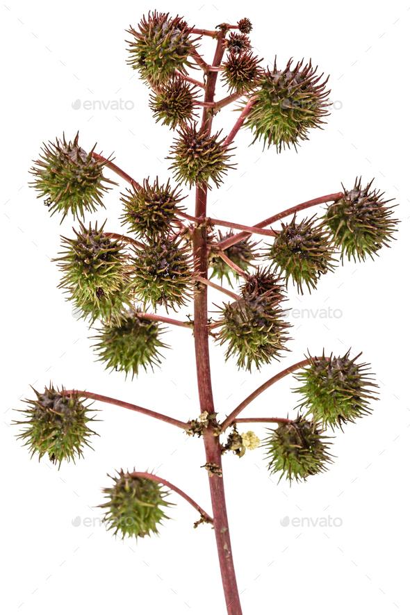 Fruit of ricinus communis close-up. isolated on white background - Stock Photo - Images