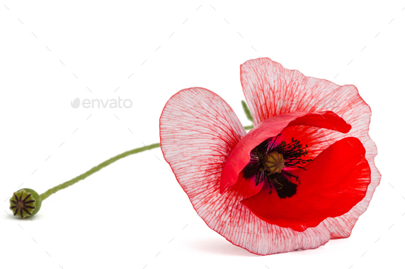 The flower of a poppy with unusual coloring of petalsisolated on - Stock Photo - Images