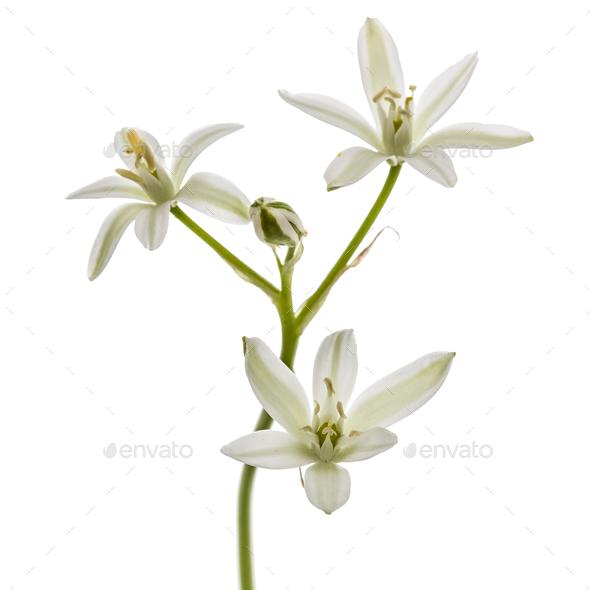 Ornithogalum flower, isolated on white background - Stock Photo - Images