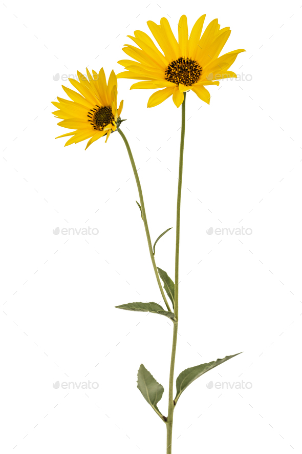 Two yellow flowers, isolated on white background - Stock Photo - Images