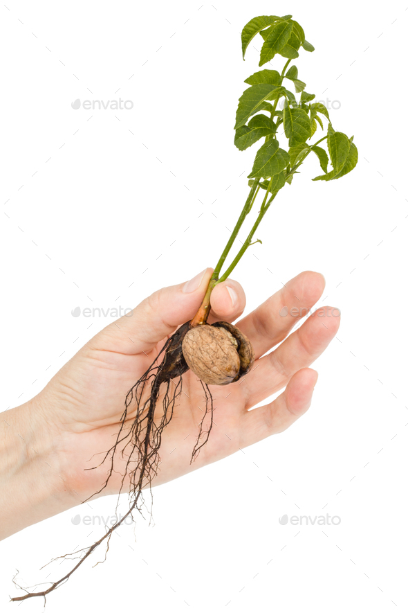 Female hand holds  seedling of a walnut, isolated on white backg - Stock Photo - Images