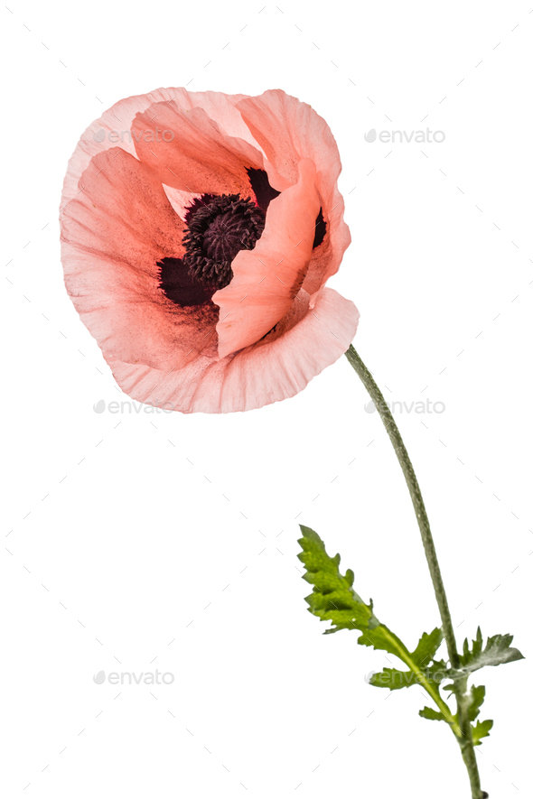 Flower of scarlet poppy, lat. Papaver, isolated on white backgro - Stock Photo - Images