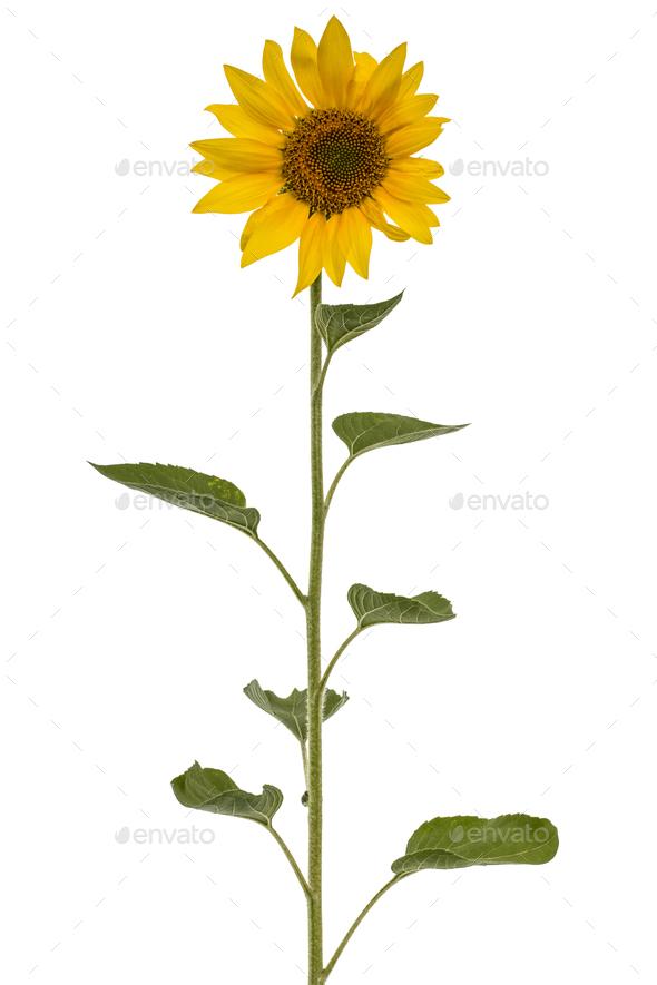 Sunflower isolated on white background - Stock Photo - Images