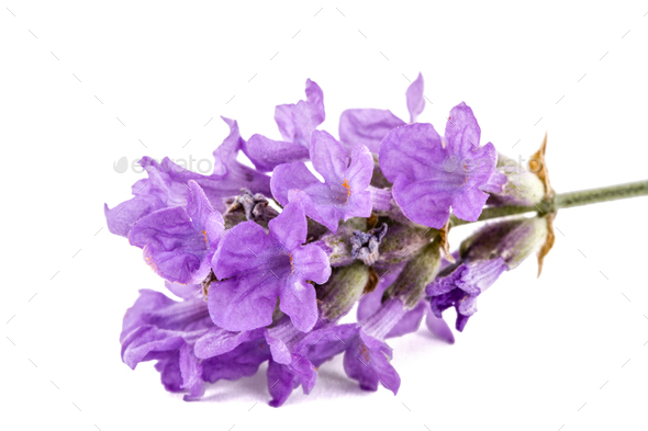 Flowers  of violet lavender, isolated on white background - Stock Photo - Images