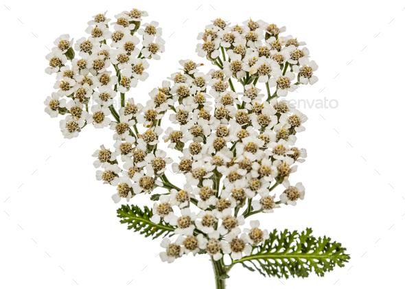 Flowers of yarrow, lat. Achillea millefolium, isolated on white - Stock Photo - Images