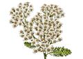 Flowers of yarrow, lat. Achillea millefolium, isolated on white - PhotoDune Item for Sale