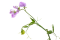 Flowers of sweet pea, isolated on white background - PhotoDune Item for Sale