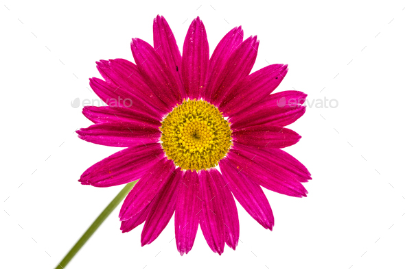 Flower of pyrethrum, isolated on white background - Stock Photo - Images