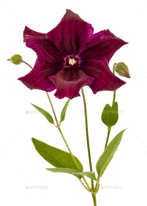 Purple clematis flower, isolated on white background - Stock Photo - Images
