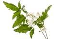 Flowers and leafs of Clematis , lat. Clematis vitalba L., isolat - PhotoDune Item for Sale