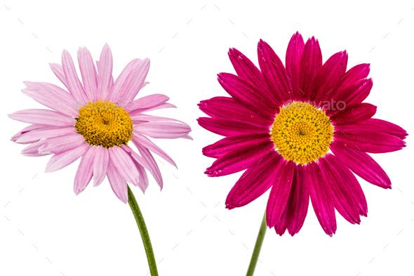 Flowers of pyrethrum, isolated on white background - Stock Photo - Images