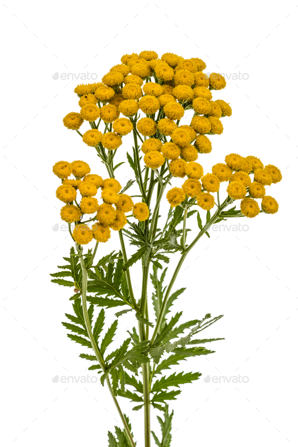 Flowers the medicinal plant of tansy, lat. Tanacetum vulgare, is - Stock Photo - Images