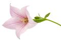 Rose flower of Platycodon (Platycodon grandiflorus) or bellflowe - PhotoDune Item for Sale