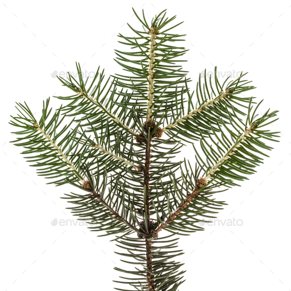 Spruce branch, isolated on white background - Stock Photo - Images
