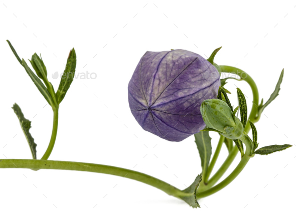 Bud of platycodone flower, isolated on white background - Stock Photo - Images