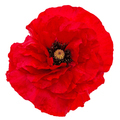 Flower of red poppy, lat. Papaver, isolated on white background - PhotoDune Item for Sale