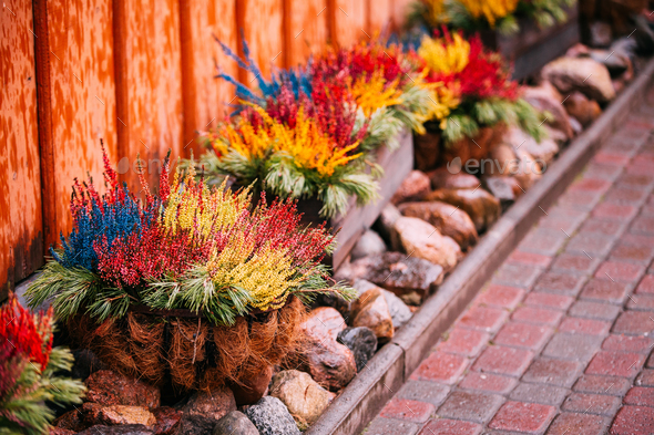 Bush Of Colorful Calluna Plants In Pots In Garden Flower-Bed - Stock Photo - Images