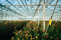 Greenhouse roses growing under daylight. - PhotoDune Item for Sale
