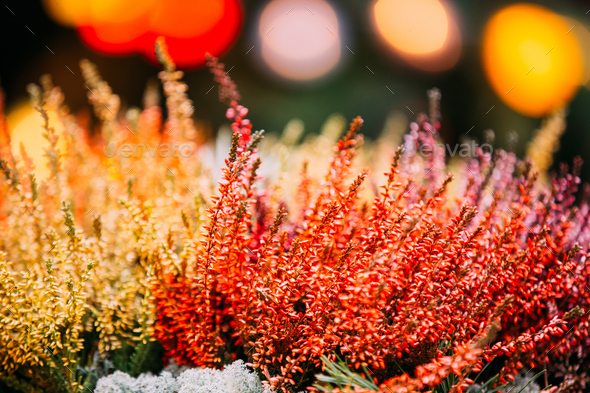 Bush Of Yellow And Red Colors Calluna Plants In Pots In Garden - Stock Photo - Images