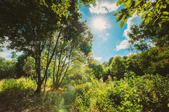 Sun Shining Through Canopy Of Tall Trees. Sunlight In Deciduous - Stock Photo - Images