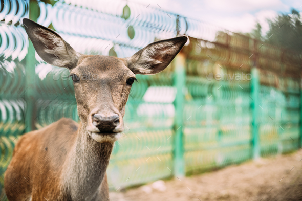 Close Up Of European Roe Deer - Stock Photo - Images
