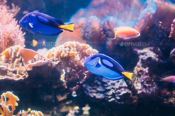 Blue Tang Fish Paracanthurus Hepatus Swimming In Water. Popular - Stock Photo - Images