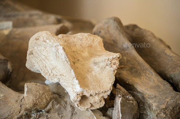 Ancient Old Mammoth Tooth. Fossil - Stock Photo - Images