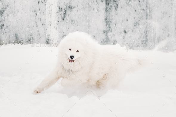 Young White Samoyed Dog (Bjelkier, Smiley, Sammy) Playing Runnin - Stock Photo - Images