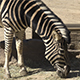 Group of Zebras 01 - VideoHive Item for Sale