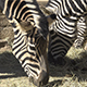 Group of Zebras 02 - VideoHive Item for Sale