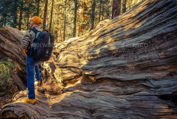 Sequoias National Park Hiker - Stock Photo - Images