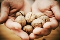 Walnuts in Chef Hands - PhotoDune Item for Sale