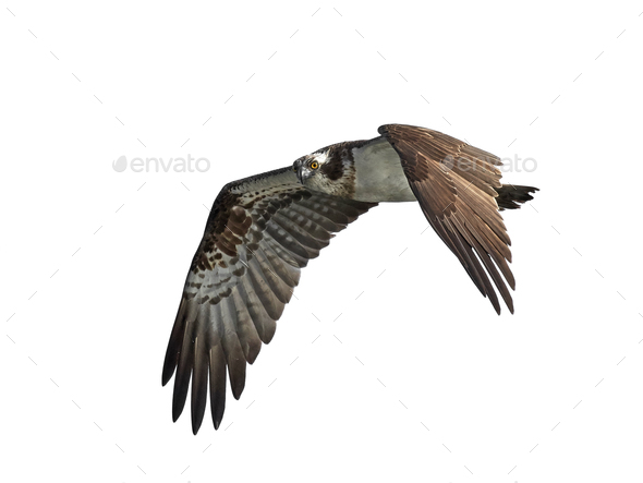 Osprey (Pandion haliaetus) - Stock Photo - Images