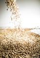 Falling Pilsner Malt Beer Grain Heap on a White Table - PhotoDune Item for Sale