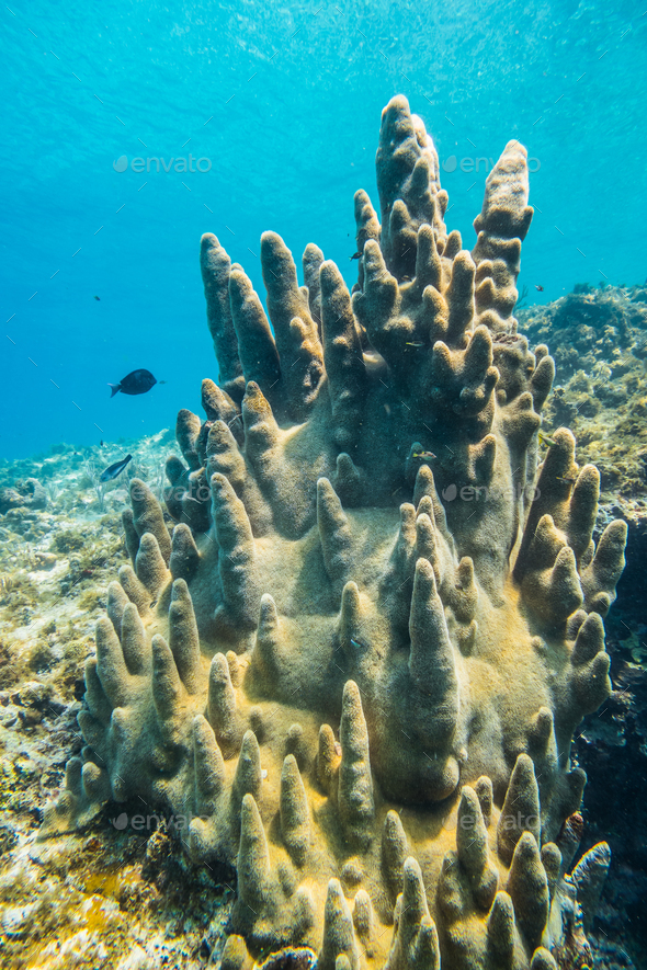 Rare Pillar Corals in the Caribbean Sea - Stock Photo - Images