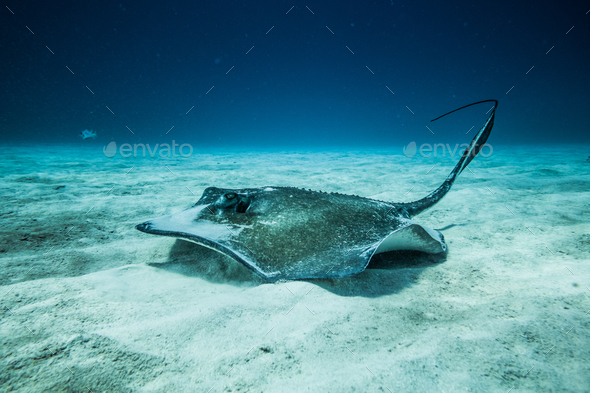 Common Stingray on the ground of the ocean. - Stock Photo - Images