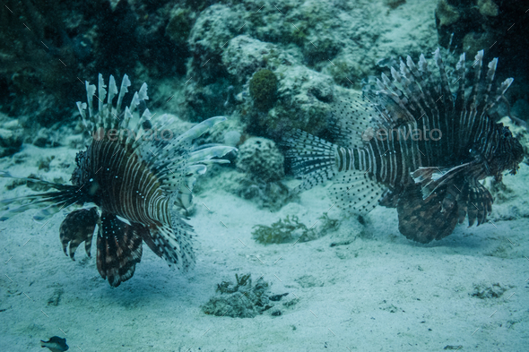 Lionfishs swimming at the ocean ground. - Stock Photo - Images