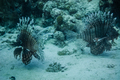Lionfishs swimming at the ocean ground. - PhotoDune Item for Sale