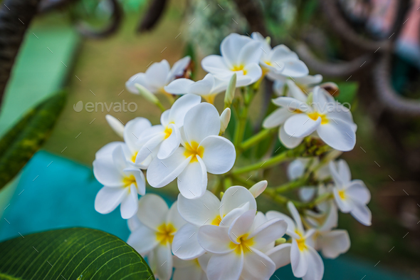 White blooming flowers of Plumeria in Caribbean. - Stock Photo - Images