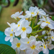 White blooming flowers of Plumeria in Caribbean. - PhotoDune Item for Sale