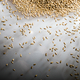 Pilsner Malt Beer Grain Heap on a White Table - PhotoDune Item for Sale