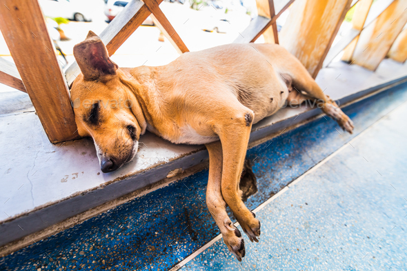 Homeless Tired small dog lying and sleeping in Caribbean airport - Stock Photo - Images
