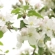 White Flowers and Buds of an Apple - VideoHive Item for Sale
