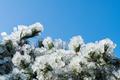 pine needles frozen in winter - PhotoDune Item for Sale