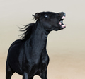 Angry American Miniature Horse. Vertical portrait of black stallion.  - PhotoDune Item for Sale