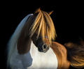 Portrait American Miniature Horse with long white mane and gold forelock.  - PhotoDune Item for Sale