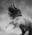 Wild long-maned horse galloping during blizzard.  - PhotoDune Item for Sale