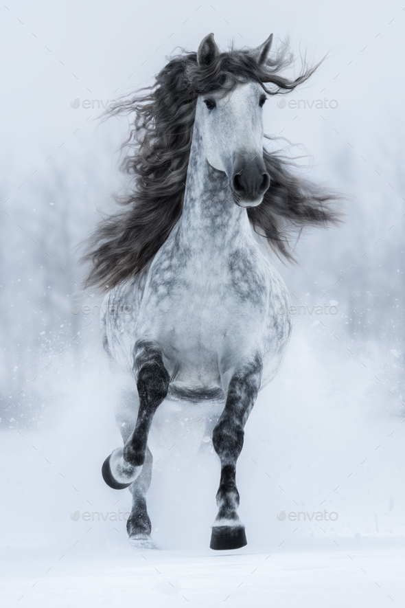 Galloping grey long-maned Spanish horse in winter. - Stock Photo - Images