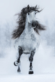 Galloping grey long-maned Spanish horse in winter. - PhotoDune Item for Sale